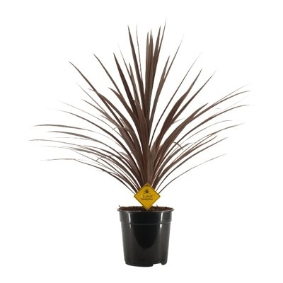 Cordyline austr. 'Red Star'