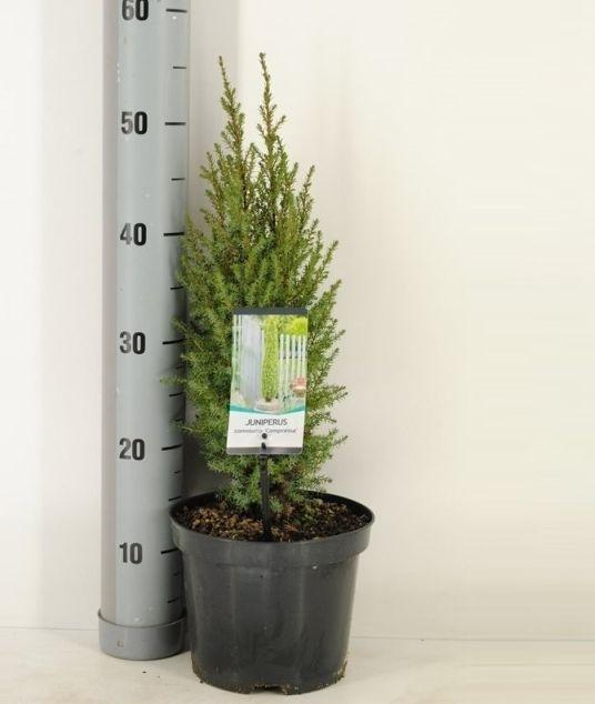Juniperus comm. 'Compressa'