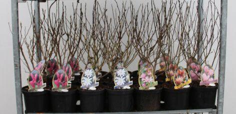 Magnolia in cultivars