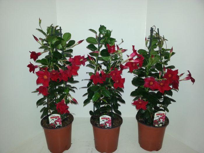 Mandevilla 'Sundaville® Red'