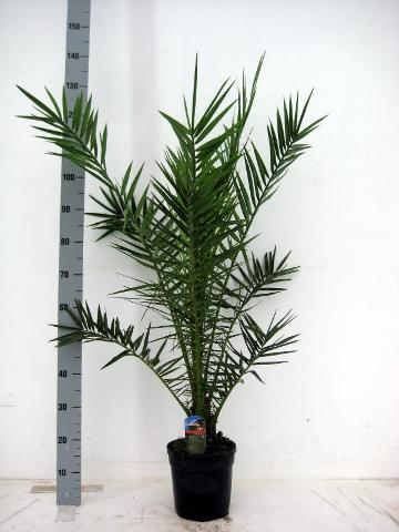 Phoenix canariensis